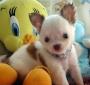 baby chihuahua cachorros para venda