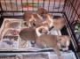 Adorable ninhada de cachorros chihuhuahua gratuitamente