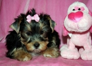 2 Yorkshire Terrier filhotes disponíveis ...