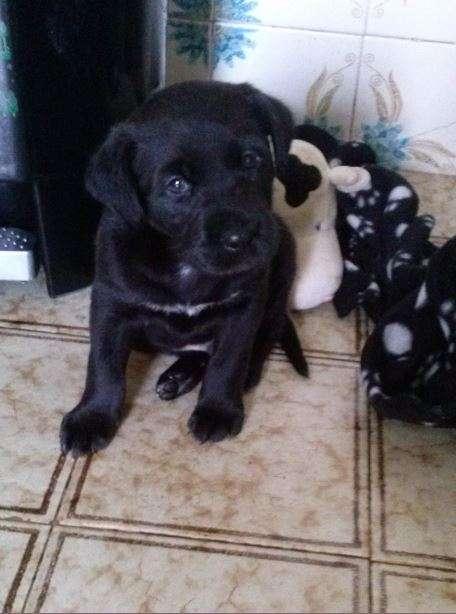 Labrador bebé precisa de uma nova familia