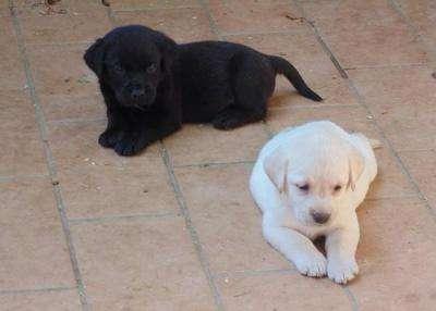 Filhotes de cachorro bonito labrador com pedigree