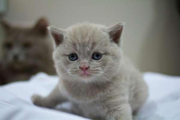 Maschio gattini british shorthair 10 settimane