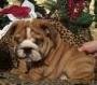 adorável Inglês bull cachorro para adopção