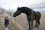 cavalo Friesian saudável para nova casa