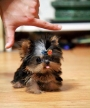teacup yorkshire terrier cachorros pronto