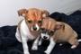 filhotes de cachorro chihuahua para adoção