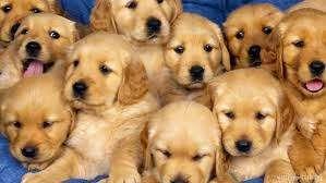 Impresionante golden retriever puppies for sale